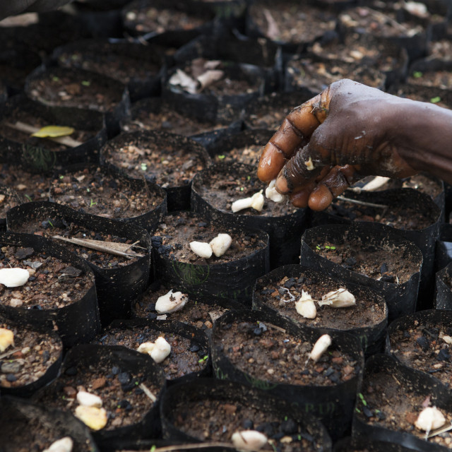 """""""Cocoa beans being planted at a cocoa nursery in Ghana."""" stock image"""