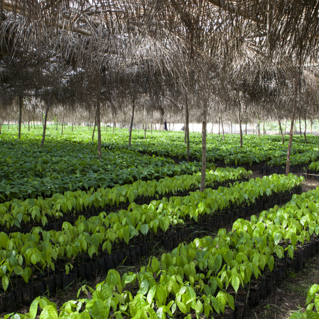 """""""Small cocoa trees at a cocoa nursery in Ghana."""" stock image"""