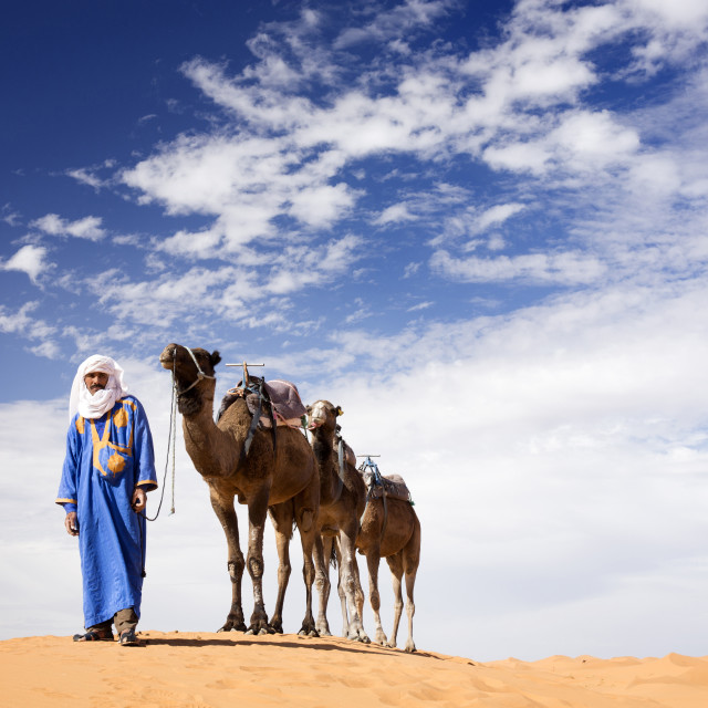 """Camels being led over dunes of the Erg Chebbi sand sea, part of the Sahara..."" stock image"