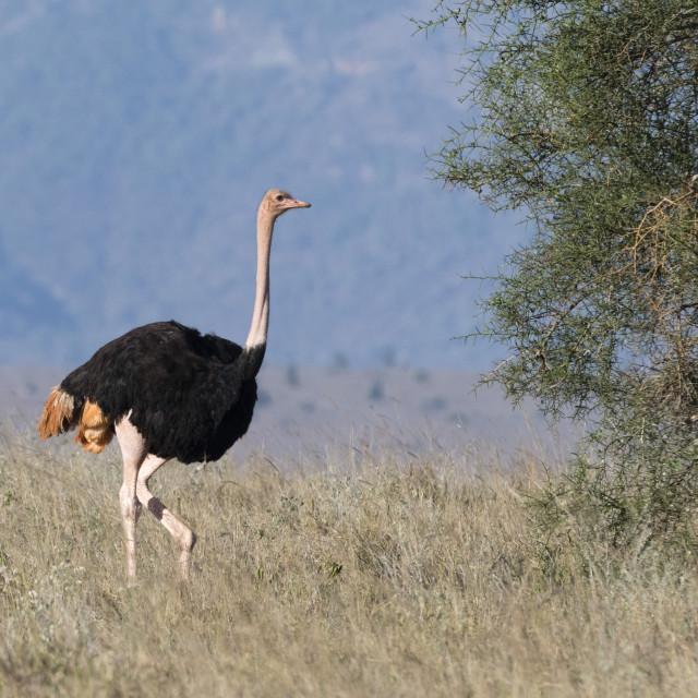 """A male ostrich, Struthio camelus, Tsavo, Kenya."" stock image"