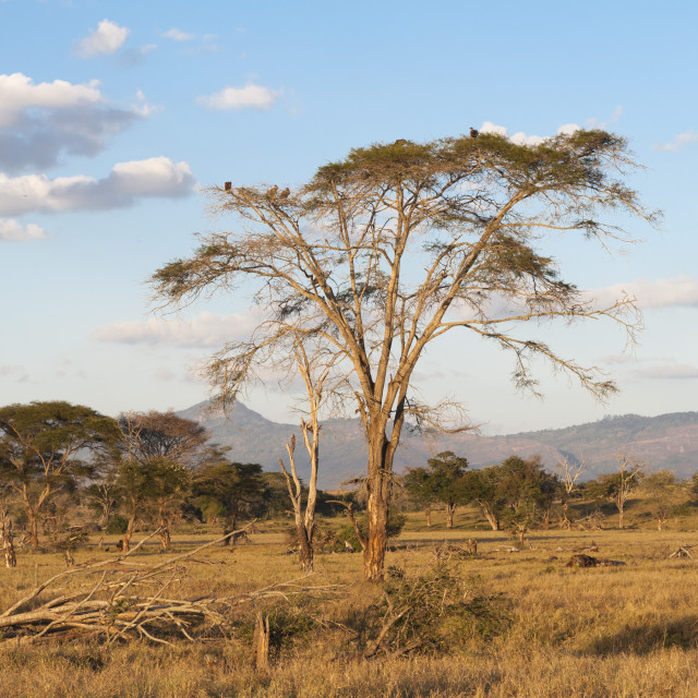 """Trees in a plain in Tsavo, Tsavo, Kenya."" stock image"
