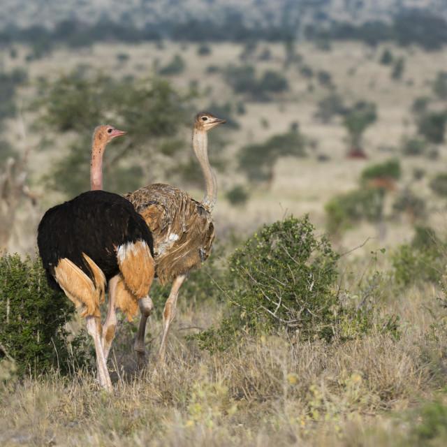 """A couple of ostriches, Struthio camelus, Tsavo, Kenya."" stock image"