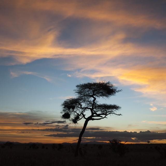 """""""An acacia at sunset, Tsavo, Kenya."""" stock image"""