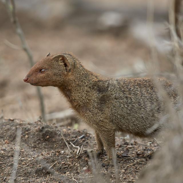 """""""Slender Mongoose (Galerella sanguinea), Kruger National Park, South Africa"""" stock image"""