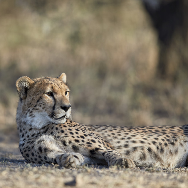 """Cheetah (Acinonyx jubatus), Ngorongoro Conservation Area, Tanzania"" stock image"