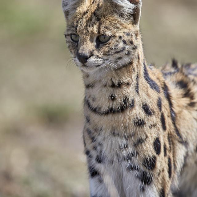 """""""Serval (Felis serval), Ngorongoro Conservation Area, Tanzania"""" stock image"""