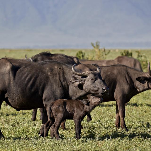 """Cape Buffalo or African Buffalo (Syncerus caffer) cow and calf, Ngorongoro..."" stock image"