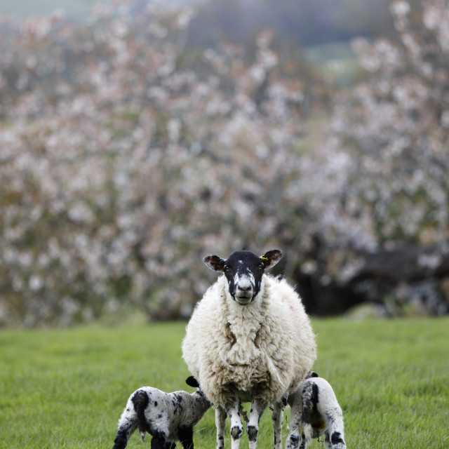 """Ewe feeding 2 lambs in field in spring, Mickleton, Cotswolds,..."" stock image"