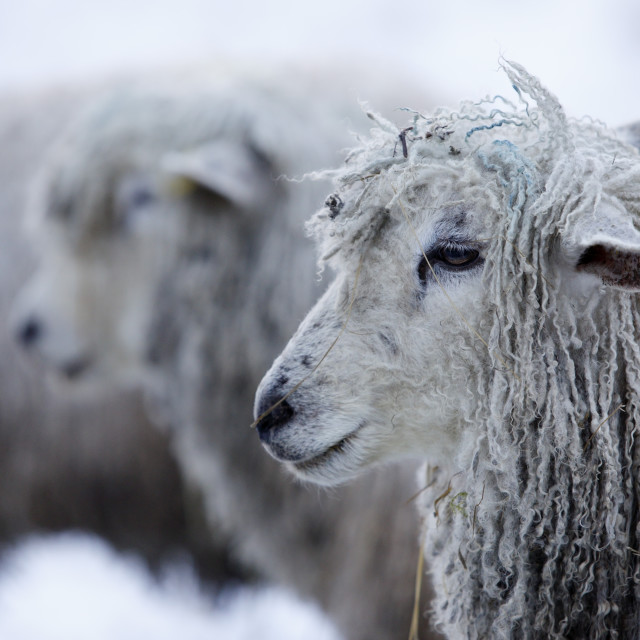 """Cotswold Lion sheep in snow, Bourton-on-the-Hill, Cotswolds, Gloucestershire,..."" stock image"