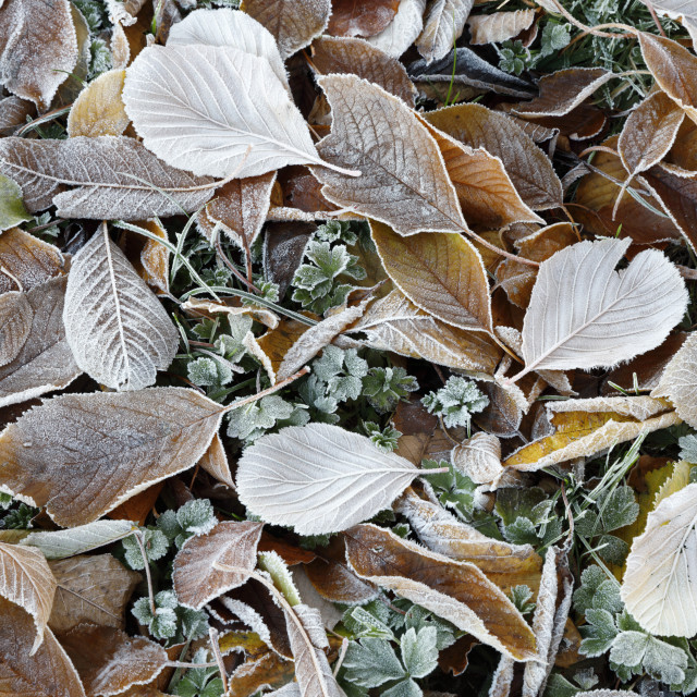 """Frost covered leaves, Gloucestershire, England, United Kingdom, Europe"" stock image"