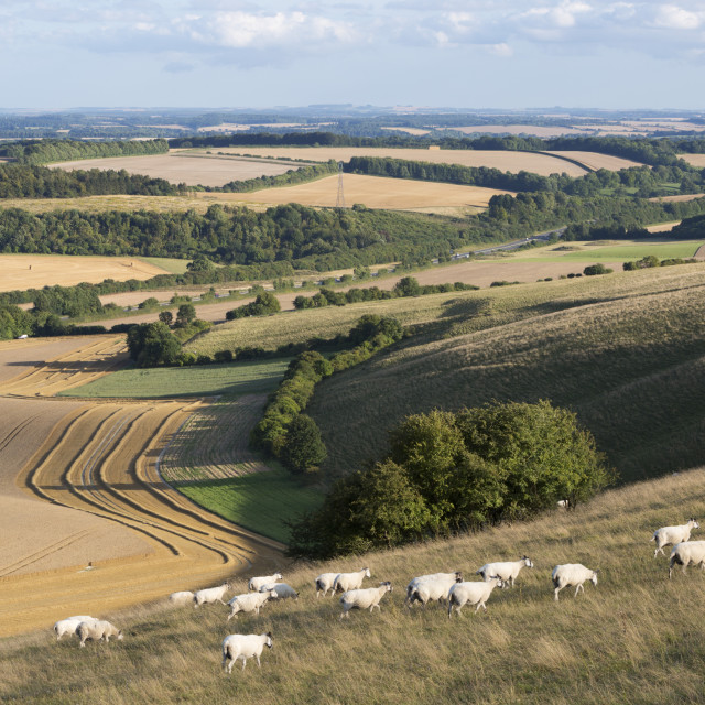 """View over summer wheat fields and sheep from top of Beacon Hill, near..."" stock image"