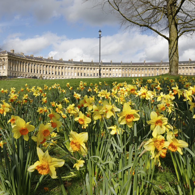 """Spring Daffodils in front of Georgian style terraced houses of Royal..."" stock image"