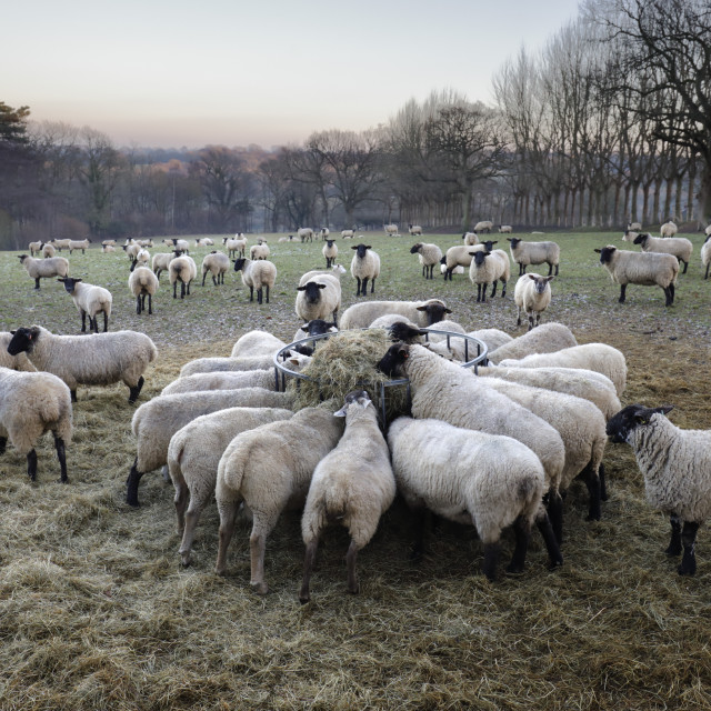 """Field of sheep feeding on hay in winter, Burwash, East Sussex, England,..."" stock image"