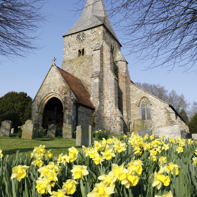 """St Bartholomew's church with spring Daffodils, Burwash, East Sussex, England,..."" stock image"