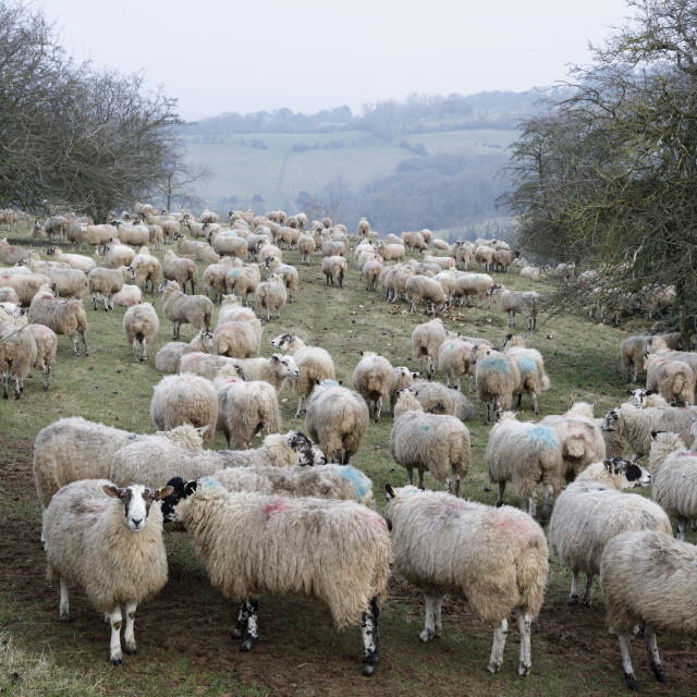 """Flock of sheep on cotswold hillside, Broadway, Cotswolds, Worcestershire,..."" stock image"