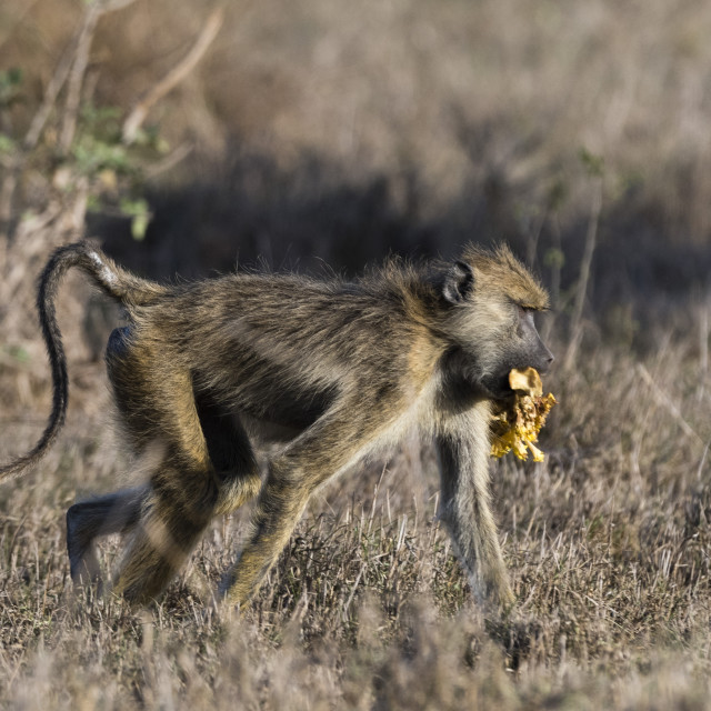 """A yellow baboon, Papio hamadryas cynocephalus, walking with some food in its..."" stock image"