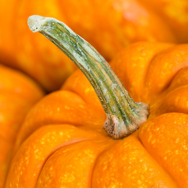 """Closeup of a mini pumpkin"" stock image"