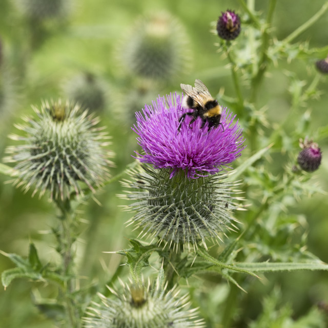 """Scottish Thistle"" stock image"