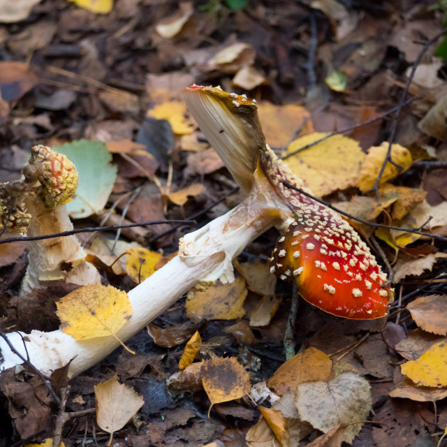 """Autumn decay, fly agaric"" stock image"