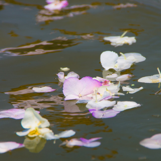"""Flower petals on water"" stock image"