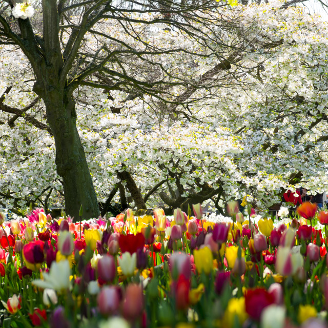 """Keukenhof tulips under a white tree"" stock image"