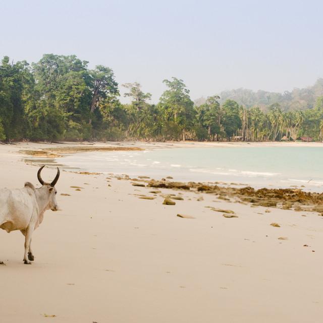 """Beach cow"" stock image"