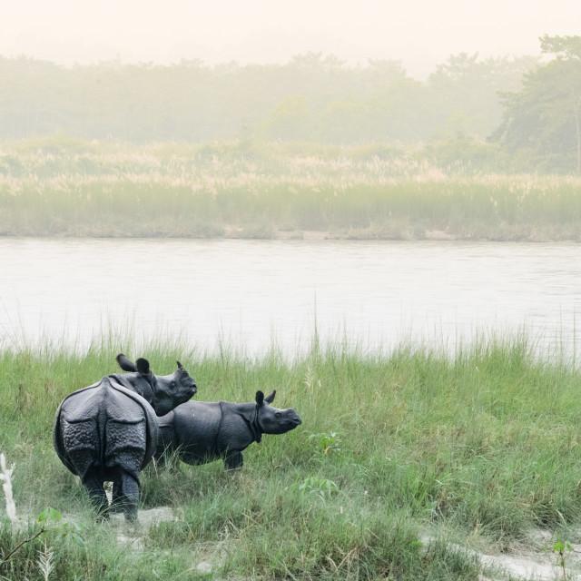 """One-horned rhinos"" stock image"