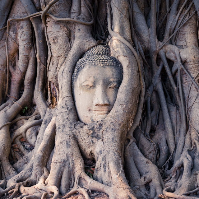 """""""Buddha image in tree roots"""" stock image"""