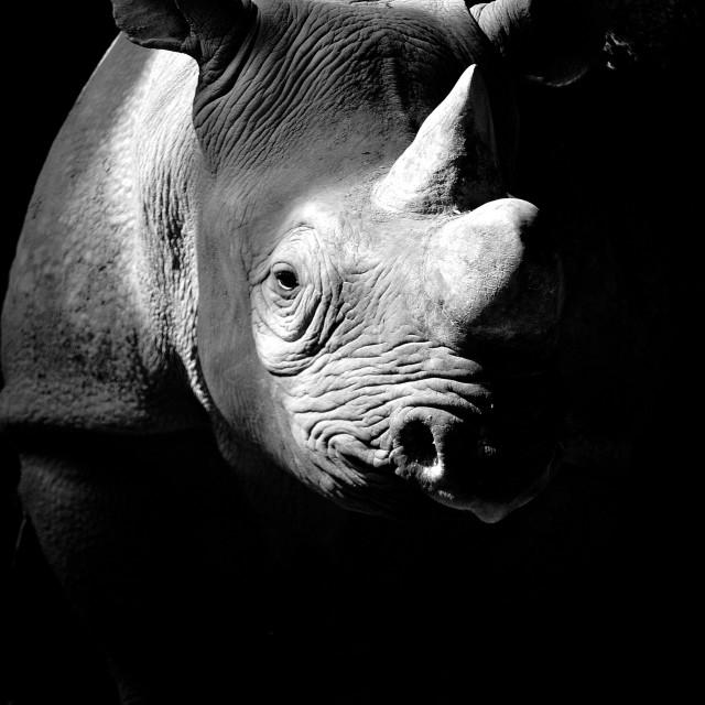 """""Exposed"" Kifaru the Black Rhino."" stock image"