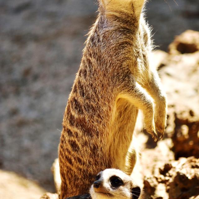 """Meerkat Madness"" stock image"