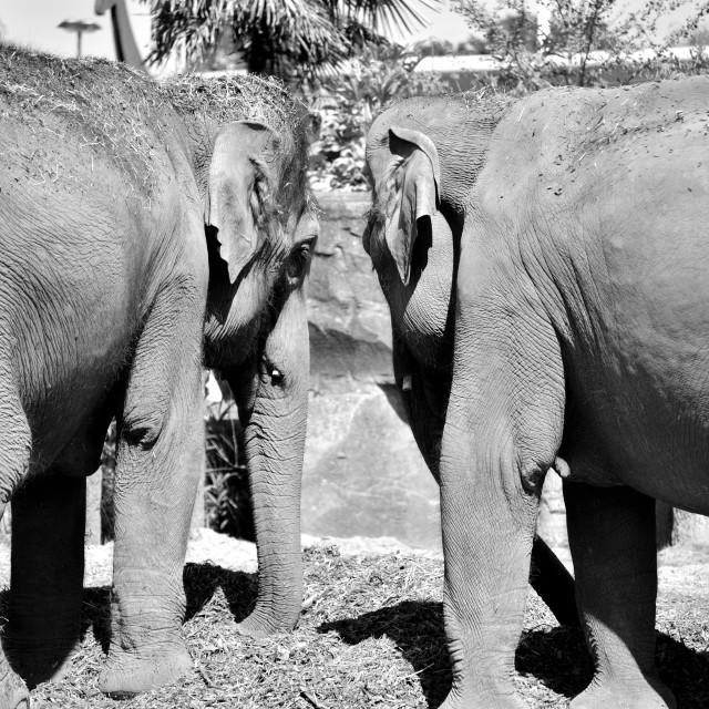 """Elephant Pair"" stock image"
