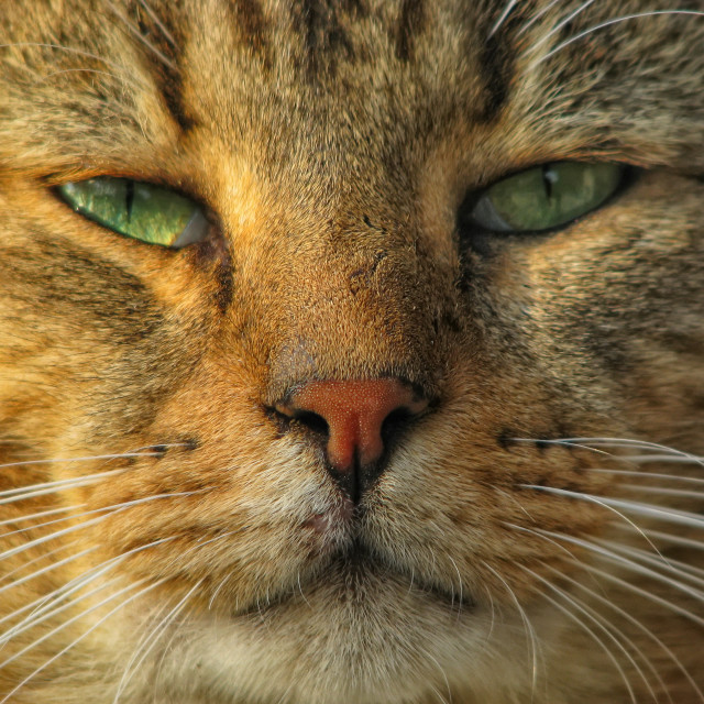 """""""a cat portrait"""" stock image"""