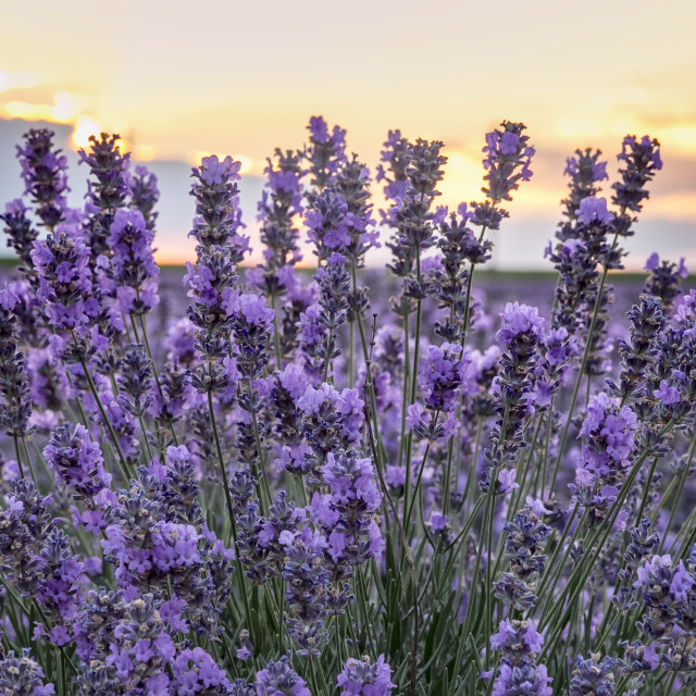 """""""Blooming lavender"""" stock image"""