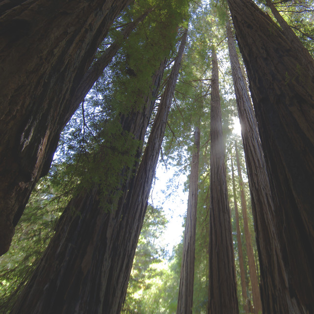 """""""Looking up through Redwoods 1"""" stock image"""