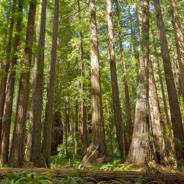 """Redwoods Muir Woods"" stock image"