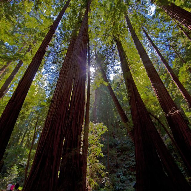 """""""Gentle Redwoods"""" stock image"""