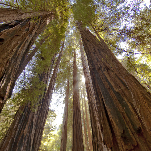 """""""Looking up through Redwoods"""" stock image"""