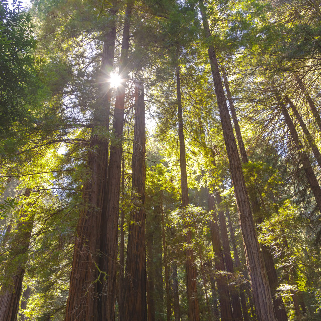 """Sunbeam Redwoods"" stock image"