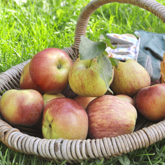 """apples in a basket"" stock image"