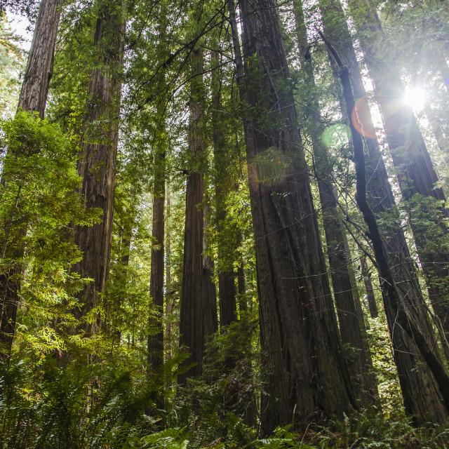 """Wonderlight Redwoods"" stock image"
