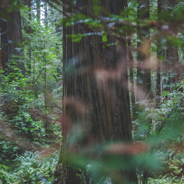 """Mystery Redwood"" stock image"