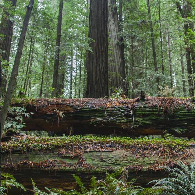 """Redwood Steps"" stock image"