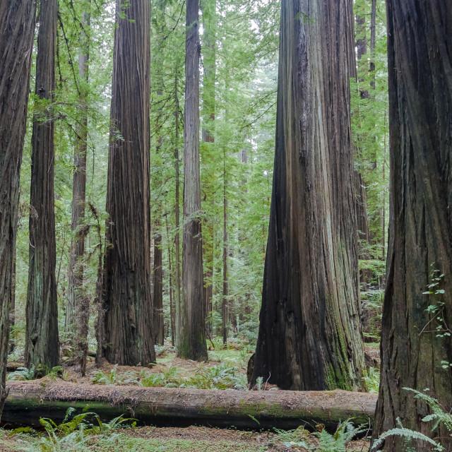 """""""Redwood Togetherness"""" stock image"""