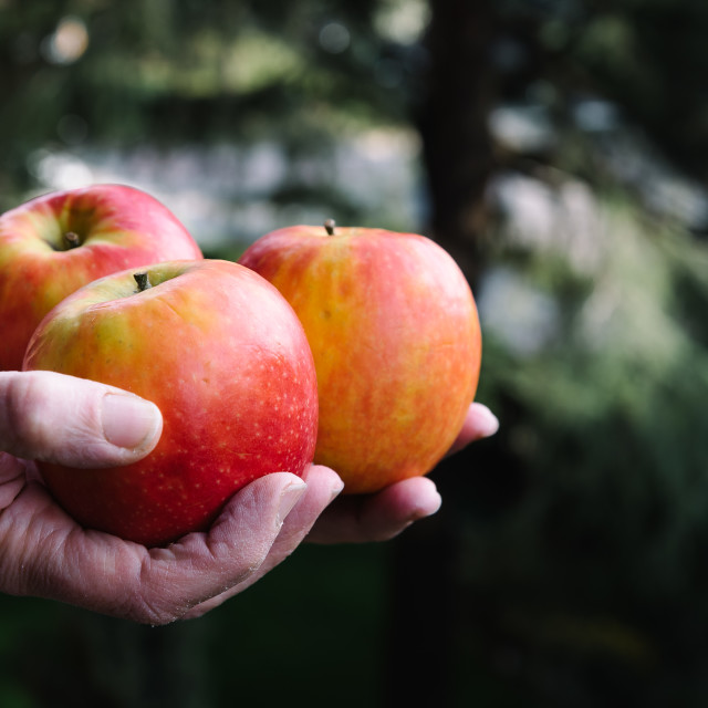 """""""Hands of woman holding three red apples"""" stock image"""