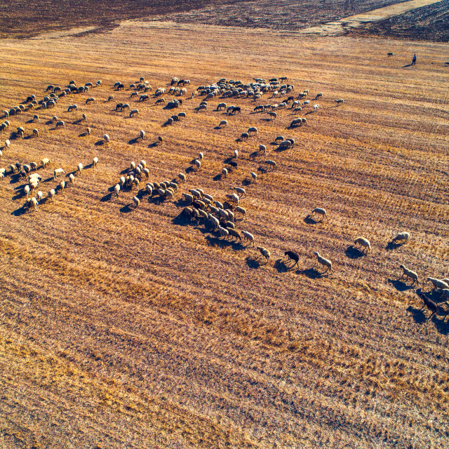 """""""Aerial view of herd of domestic sheeps at autumn agricultural fi"""" stock image"""