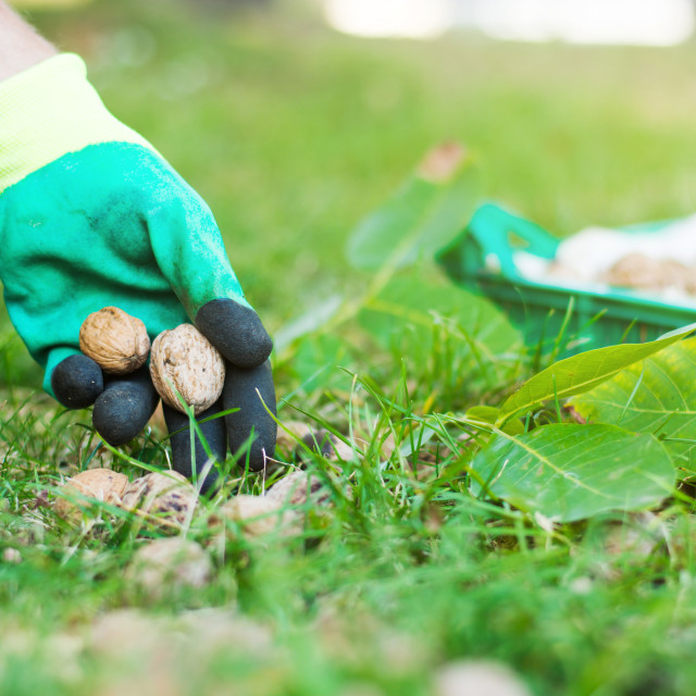 """Worker collecting walnuts from the grass"" stock image"