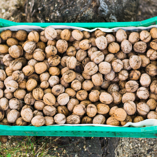 """Box full with fresh picked walnuts"" stock image"