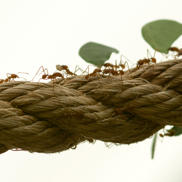 """""""Leaf Cutter Ants"""" stock image"""