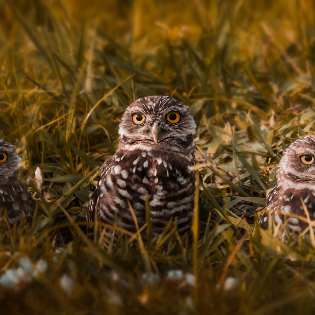 """Three owls"" stock image"