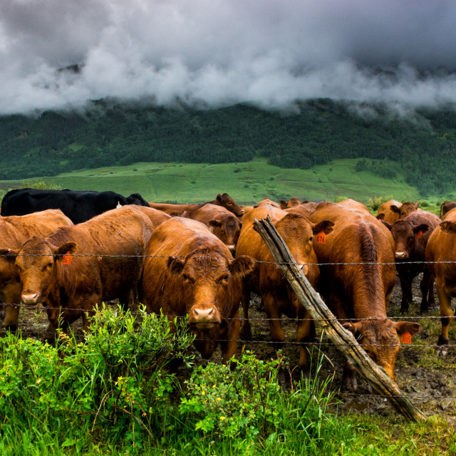 """""""The Cows Of Crested Butte"""" stock image"""